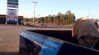 preview picture of video 'Pooping Pig in a Pick Up at the Pemex Gas Station'