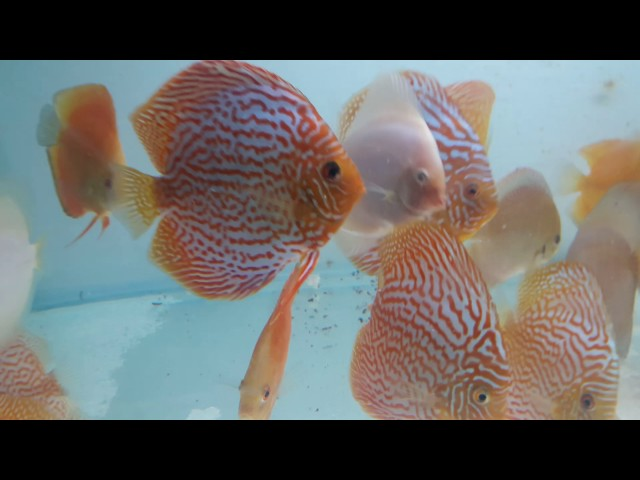 Beautiful and Active Discus Fish for sale in Mumbai