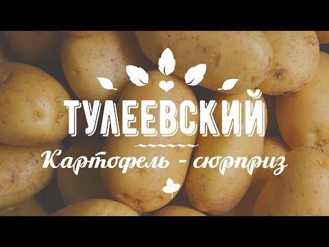 КАРТОФЕЛЬ ТУЛЕЕВСКИЙ. Самый богатый урожай!