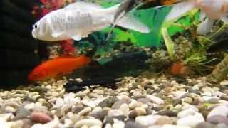 золотые рыбки, телескопы, кометы, аквариумные рыбки