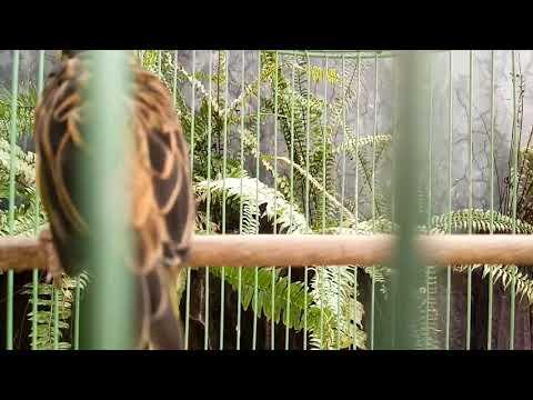Download suara burung manyar kelapa.