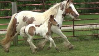 FOR SALE; PUREBRED GYPSY VANNER MARE AND/OR FILLY (3 in 1 Package)