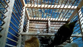 Suara Burung Sirtu /cipoh Betina  Cocok Buat Pikatan