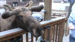 Feeding and Petting a Bull Moose