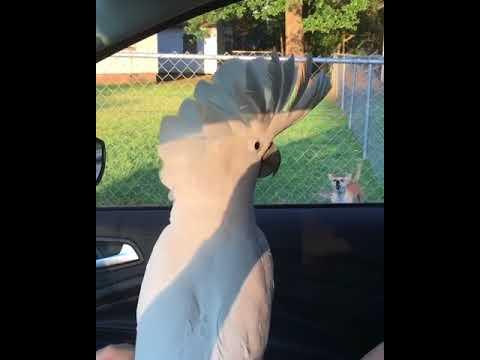 Белый попугай издевается над собаками