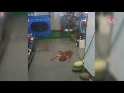 Осьминог сбежал из аквариума и ползал по полу в помещении