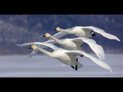 Лебеди летят!
