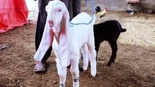gulabi goat baby - मुफ्त ऑनलाइन वीडियो