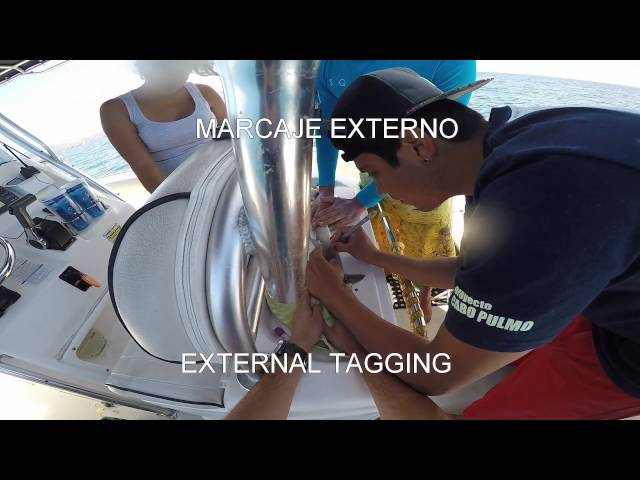 Pacific Sharpnose Tagging