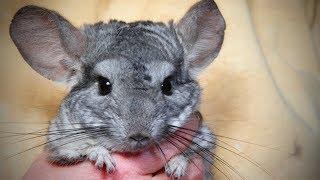 Funny Chinchilla 🐭Funny and Cute Chinchilla (Full) [Funny Pets]