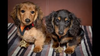 Romanee & Conti - Miniature Dachshund Puppies - 4 Weeks Residential Dog Training