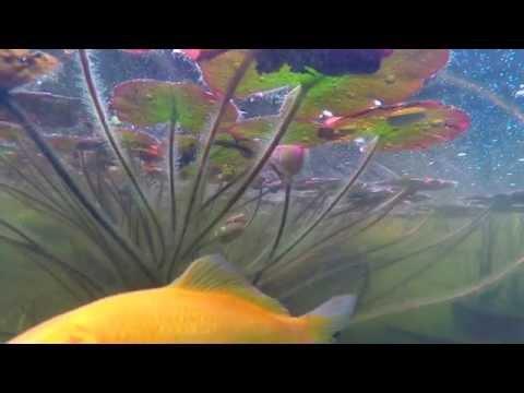 Gartenteich GoPro Hero 4 mit schwimmender GoPro Hero4 durch  den Gartenteich