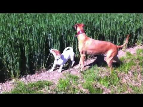 Il cane che salta come un canguro