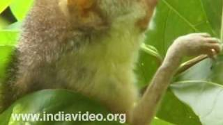 The large-eyed Slender Loris