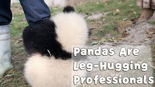 All The Pandas Are Leg-Hugging Professionals| iPanda