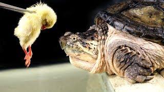 Морская черепаха акула зеркальный карп крокодил
