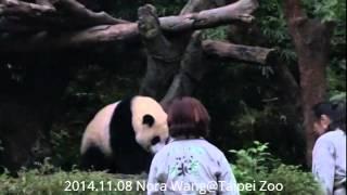 2014.11.08 館長收貓圓仔乖乖回家  (The Giant Panda Yuan-Zai)