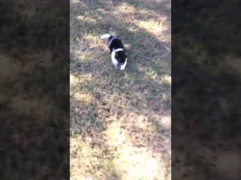 Havanese Female puppy playing!