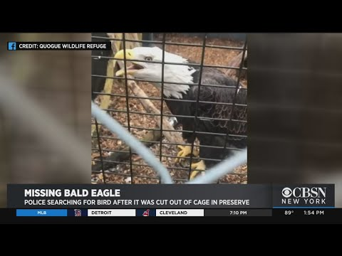 Bald Eagle With Amputated Wing Stolen From Wildlife Refuge On Long Island