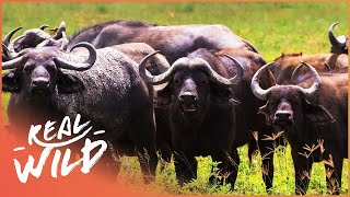 Buffalo Protecting Calf Against Lion | Lions Behaving Badly | Wild Things Shorts