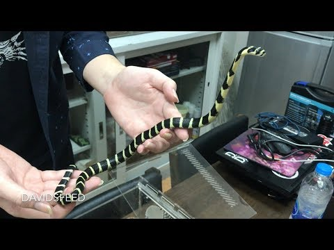 Playing with some baby King Cobras at Chrisweeet's lab