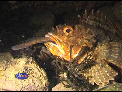 European black scorpionfish finishing shore rockling. (Scorpaena porcus)