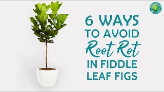 6 Ways To Prevent Root Rot In Fiddle Leaf Fig Plants   Fiddle Leaf Fig Plant Resource Center