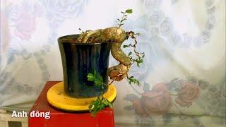 Cây Bonsai Dễ Làm Cho Người Mới Chơi