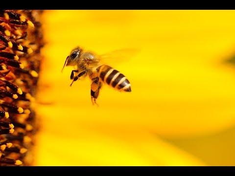 🐝 HONEYBEES GATHERING POLLEN 🌽 FROM CORN TASSELS🌾