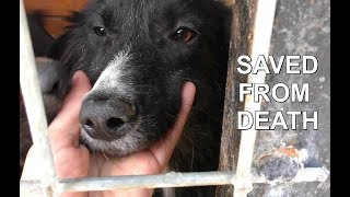 DOG DEATH CAMP RESCUE  - Border Collie puppies saved from hell hole