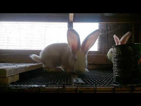 Утреннее кормление кроликов,немного о кокцидиозе.