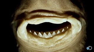 The Vicious Cookiecutter Shark | Jaws Strikes Back