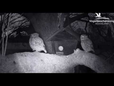 Little Owls Mating - 12.03.2017