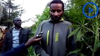 Nyandarua man gives 'tips on growing bhang' - VIDEO