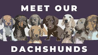 ALL ABOUT DACHSHUNDS - Color, Pattern, Size, Coat,