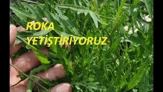 ROKA ( Eruca Vesicaria )tohumdan Nasıl Yetiştirilir ?