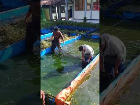 Video Tata cara panen ikan gurame