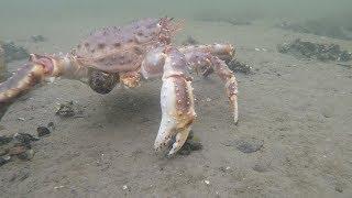 Ловля краба с берега в кольском заливе
