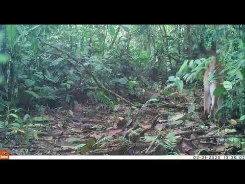 Puma (Puma concolor) enjoying a herbal scrub