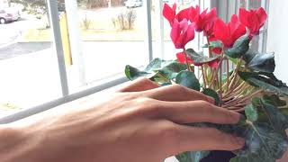 How to Keep Cyclamen Blooming    Cyclamen Care Tips!