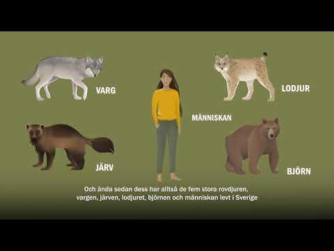 En kort film om människan och rovdjuren
