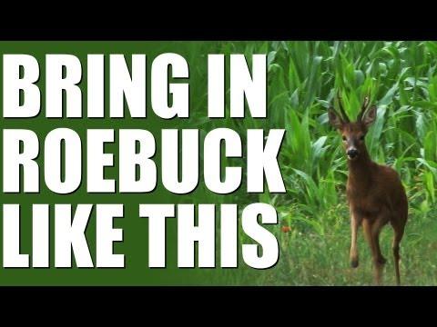 Roe buck calling – Fantastic results
