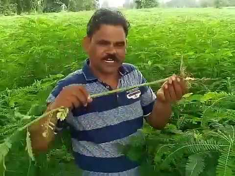 Growing Of Sesbania As Green Manure By Dr. Sanjeet Kumar Senior Scientist & Head KVK Sonbhadra UP Mp3