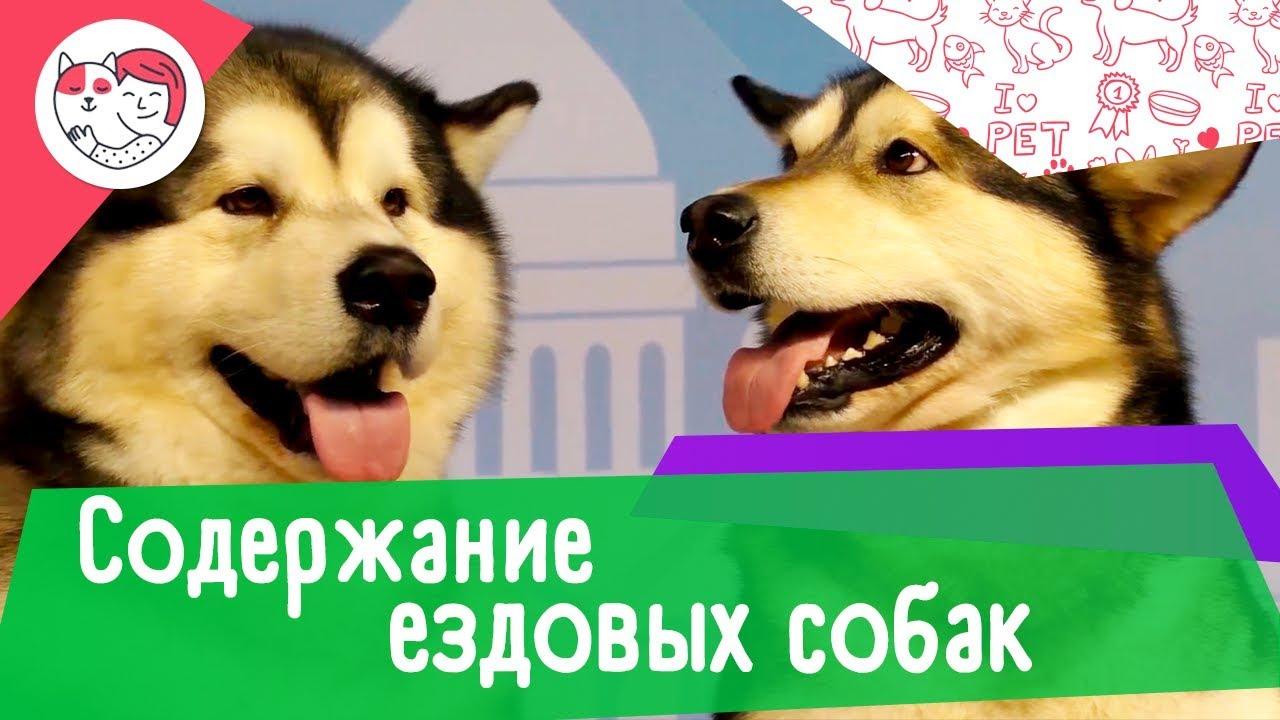 5 особенностей содержания северных ездовых собак