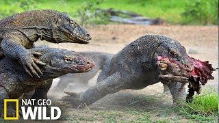 Le dragon komodo part à la chasse