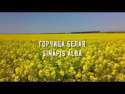 ГОРЧИЦА БЕЛАЯ(Растения Сидераты Медоносы )