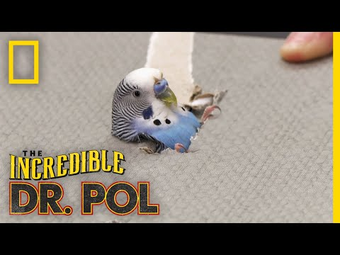 A Parakeet's Leg in Need | The Incredible Dr. Pol