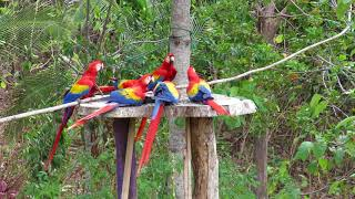 Scarlet Macaws at a feeder in Costa Rica.