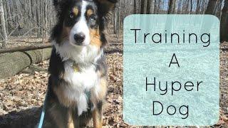 Training a Hyper Dog : Tips and Tricks for Training an Australian Shepherd