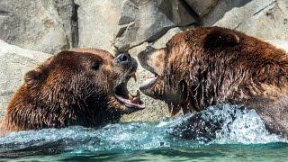 Far Cry 4 прикол: драка медведей